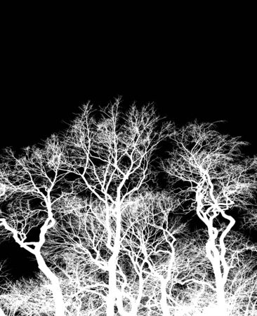 Silhouette of bare trees, white interlaced branches isolated on black background