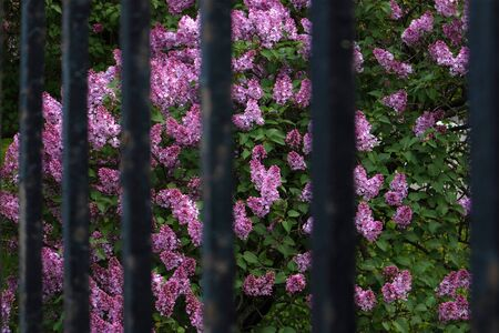 Bright blooming lush bush of violet lilac growing behind old iron fence