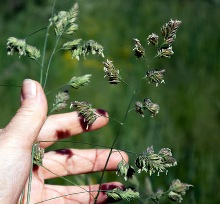 Fluffy spikes of perennial meadow grass phleum pretense and human hand holding it
