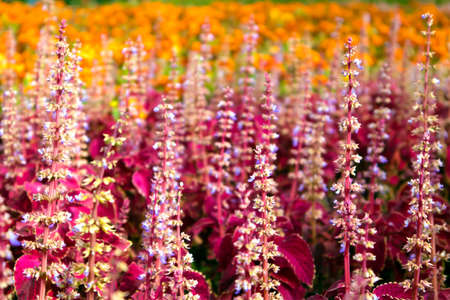 Urban flower bed with dense thickets of blooming red coleus and marigolds Фото со стока