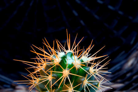 Top of living succulent green cactus with fluffy orange needles against dark wicker cover Фото со стока
