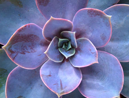 Beautiful violet cactus with succulent spiky leaves named