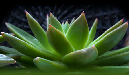 Beautiful green cactus with succulent spiky leaves named