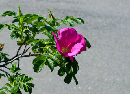 Succulent growing branch of rose hip with single pink flower against asphalt Фото со стока