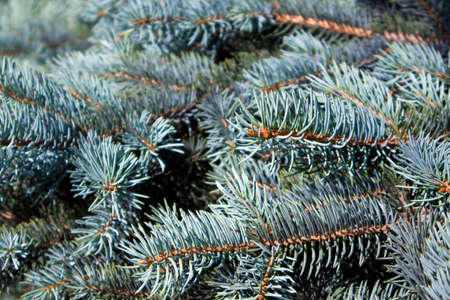 Fluffy growing succulent branches of a blue fir close up Фото со стока