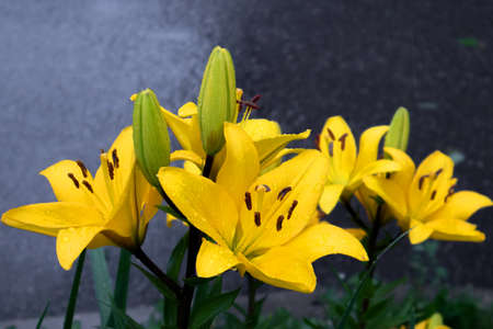 Gorgeous lush bush of yellow lilies with buds under the rain against wet gray asphalt Фото со стока
