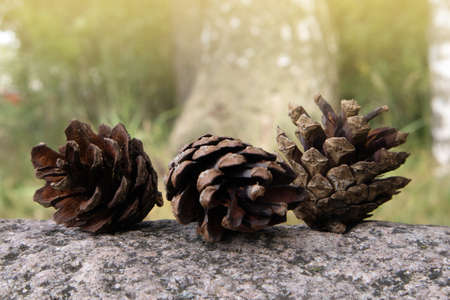 Three fallen opened ripe pine cones lying on the granite boulder against blurred background Фото со стока