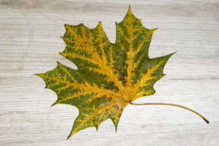 Beautiful green and yellow dry maple leaf textured with a lot of streaks lying on a light wooden board