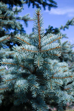 Fluffy growing blue fir with succulent branches against blue sky Фото со стока