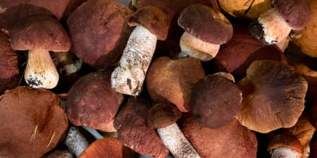 A pile of noble forest mushrooms boletus and red cap boletus, top view Фото со стока