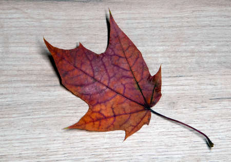 Beautiful red dry maple leaf textured with a lot of streaks lying on a light wooden board