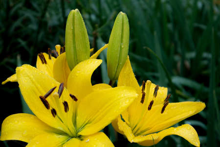 Gorgeous lush bush of yellow lilies with buds under the rain against wet foliage Фото со стока