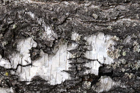 Close up view of natural white birch tree bark texture or background Фото со стока