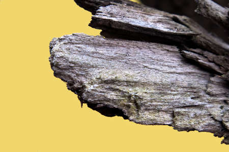 A part of old withered pine branch close up isolated on yellow background