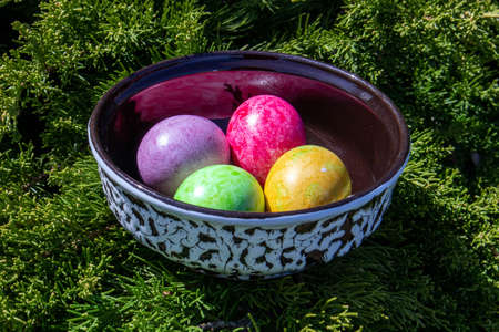 Four multicolored bright easter eggs in ceramic bowl staying on live thuja branch Фото со стока