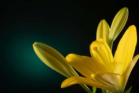 Beautiful yellow blooming lilly flower with buds isolated on dark green background with light spot Фото со стока