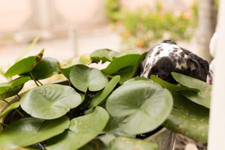 sediento: D�lmata juguetona con el tarro de loto: Un D�lmata sed estaba tratando de poner su cara a trav�s de lotos para beber agua. Foto de archivo