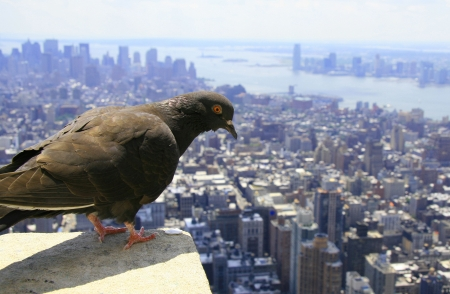 birds eye: Pigeon watching down on lower Manhattan, NYC Stock Photo