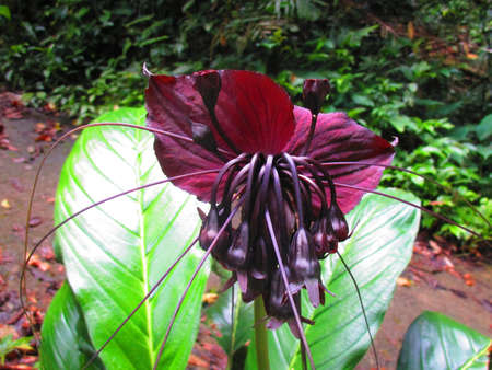belongs: Black bat flowers scientifically known as Tacca chantrieri is a plant that belongs to the yam family. There are 10 species of bat flowers that differ in size color.The genus Tacca which includes the Bat flowers and Arrowroot consists of flowering plants i