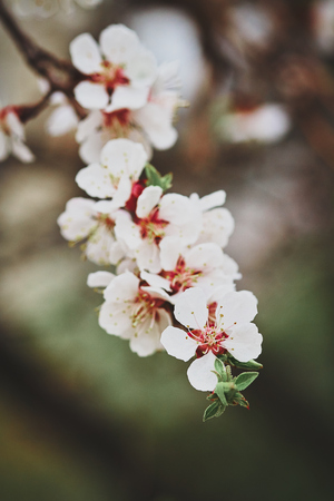 apricot tree: Photo of branch of blossoming apricot tree Stock Photo