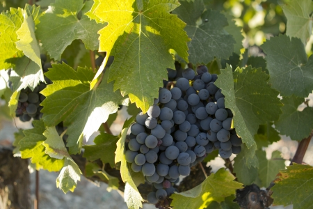 A large bunch of Rhone grapes on the vine