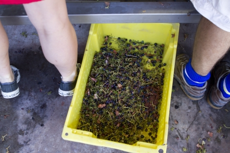 stemming: Wine workers de-stemming grapes to be made into wine