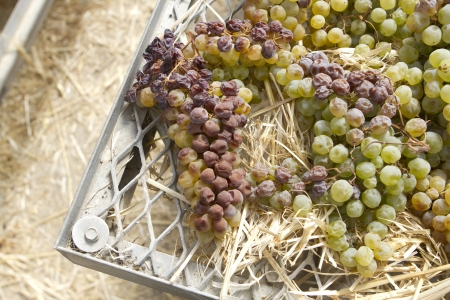 Red and white grapes drying to be made into dessert wine.