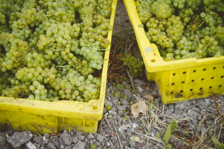 Early morning grape harvest of Chardonnay grapes