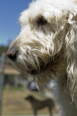 poodle mix: A mixed-breed poodle at a pet boarding facility