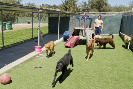 several: A female staff member at a kennel supervises several large dogs playing together