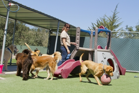 A female staff member at a kennel supervises several large dogs playing together