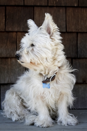 untidy: A scruffy West Highland White Terrier in need of a haircut. Stock Photo