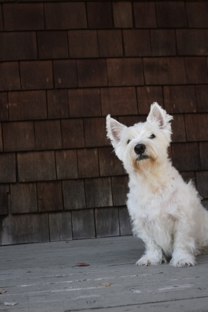 An adult Westie after his bath and haircut. Banco de Imagens
