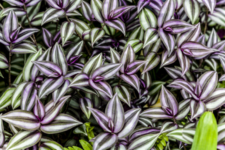 Wandering Jew close up view Stock Photo