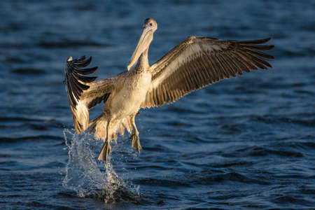 Grey pelican jumping out of the water in florida. Stock fotó