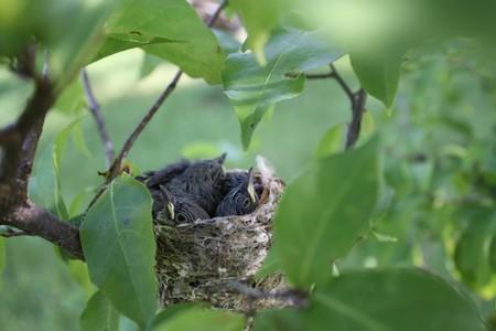 defenseless: Baby Birds in Nest