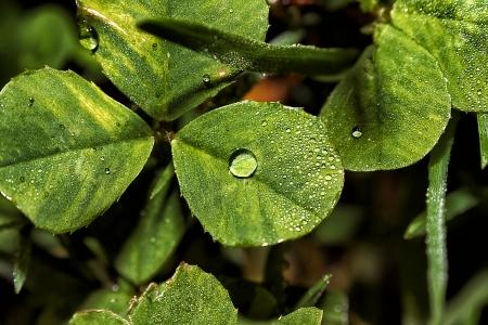trefoil: Morning dew water drops on trefoil