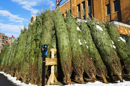 Huge quantity of big Christmas trees to sell on the market