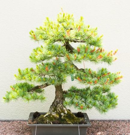 Bonsai Árbol de pino en blanco Foto de archivo - 25114343
