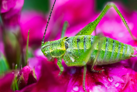 Green grasshopper on flowers macro photo