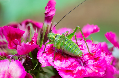 Green grasshopper on red flowers macro photo