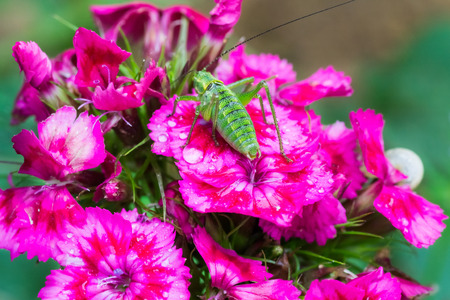 Red carnation flowers with green grasshopper on it macro photo