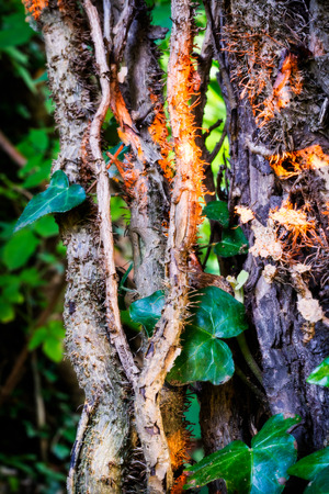Ivy stems on trunk at sunset photo