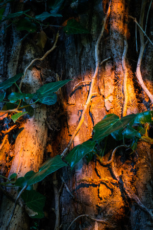 Old ivy on tree trunk at sunset closeup photo