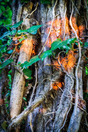 Thick ivy on old tree trunk closeup at sunset photo