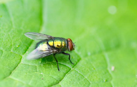 Green housefly on leaf in garden macro Stock Photo