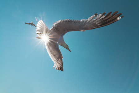 wingspan: Seagull with big wingspan in flight with sun behind over blue green sky background Stock Photo