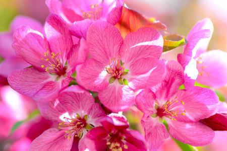 Pink flowers of tree in spring macro