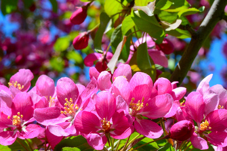Pink flowers of blossoming tree with blurred blue sky macro Stock Photo