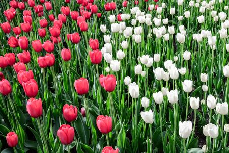 Tulip festival in Ottawa Canada in white,red and green